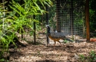 Curassows donated by Itaipu have their first clutch in Argentina